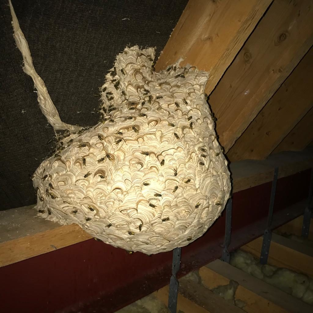 Wasp nest removal chelmsford